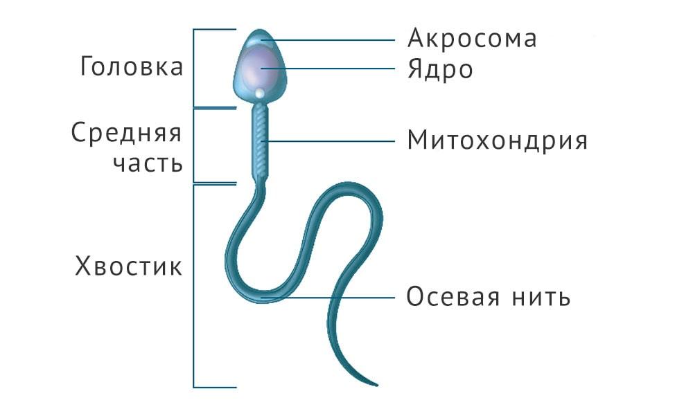 Хвост у сперматозоида совсем