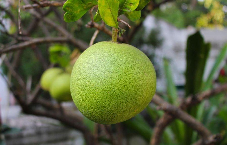 Плод помело