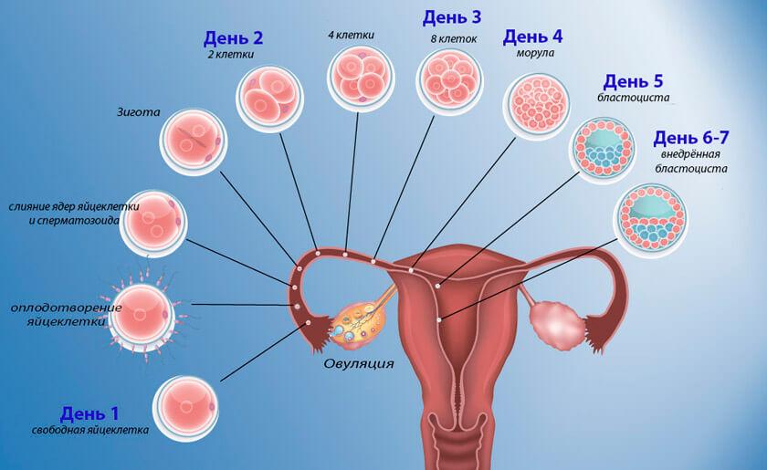 Как происходит процесс зачатия фото