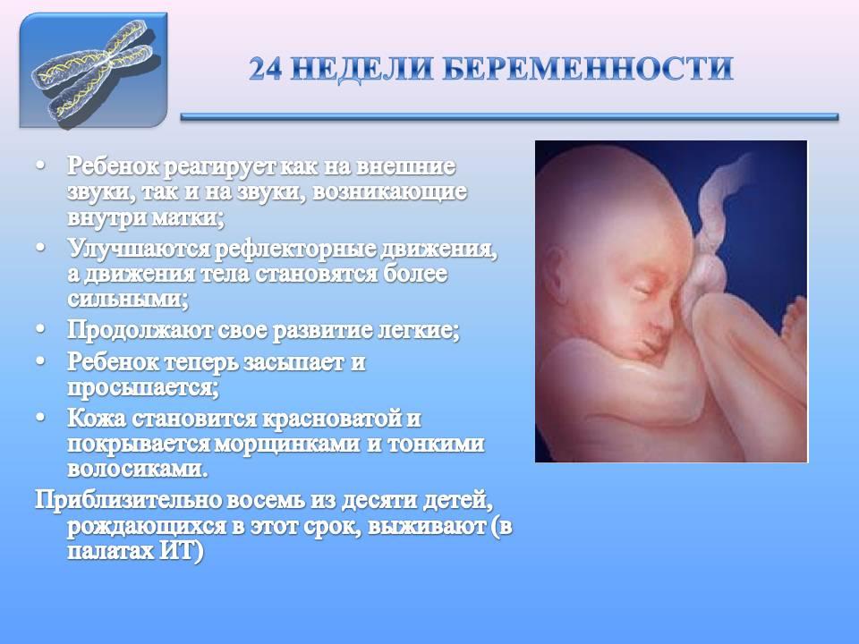 24 недели развитие малыша